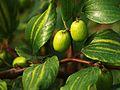 Boroi Fruit in Bangladesh 1.JPG