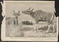 Bos sondaicus - 1863 - Print - Iconographia Zoologica - Special Collections University of Amsterdam - UBA01 IZ21200171.tif