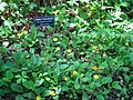 Botanical Gardens at Asheville - Green-and-gold.JPG