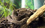 Bothrops alcatraz.jpg