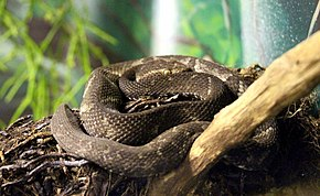 Description de l'image Bothrops alcatraz.jpg.