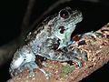 Boulenger's Giant Treefrog (Platypelis grandis) (7623779312).jpg