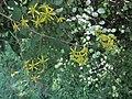 Brachyglottis sciadophila flowers.jpg