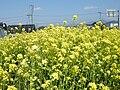 Brassica napus var. napus (3485745812).jpg