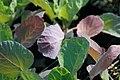 Brassica oleracea var. gemmifera Jade Cross 1zz.jpg
