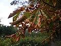 Braunes Laub nach Trockenheit im August 2018, dry trees and leaves, early autumn in Germany, Kastanienallee und Schwanenteich Giessen, 2018-08-21.jpg