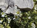 Breitblättriges Hornkraut (Cerastium latifolium) - Aufstieg Kesselkogel - 3. Tag Rosengarten-Tour (9650423687).jpg