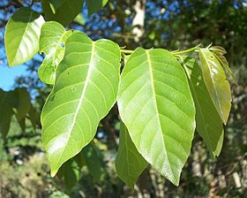 Bridelia micrantha leaves 12 08 2010.JPG