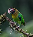 Brown-hooded Parrot (Pyrilia haematotis).jpg