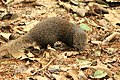 Brown mongoose -.jpg