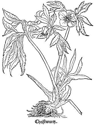 "Otto Brunfels - ""Christwurz"" (Helleborus niger) from Herbarum vivae eicones (1530–1536)"