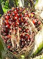 Buah kelapa sawit (45).JPG
