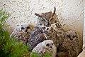 Bubo virginianus -adult and chicks -Arizona-8.jpg