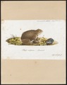 Bufo vulgaris - 1700-1880 - Print - Iconographia Zoologica - Special Collections University of Amsterdam - UBA01 IZ11500147.tif