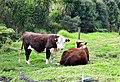 Bull (16767426024).jpg