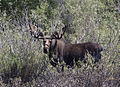 Bull Moose, Pilgrim Rd. Grand Teton National Park.jpg