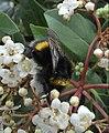 Bumblebee, Roxton, Bedfordshire (8645743406).jpg
