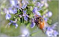 Busy Winter Bee (137642207).jpeg