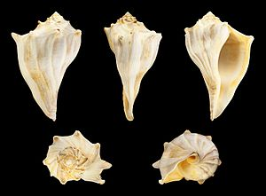 Knobbed whelk - Busycon carica ssp. eliceans