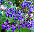 Butchart Gardens - Victoria, British Columbia, Canada (29173337845).jpg