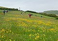 Buttercups near Padstow - geograph.org.uk - 1287358.jpg