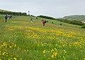 Buttercups near Padstow - geograph.org.uk - 1287358.jpg