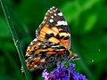 Butterfly 0072.jpg