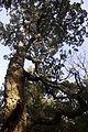Céret - Chêne-liège près Roc Famoso.JPG