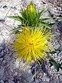 C. arborescens-1.JPG