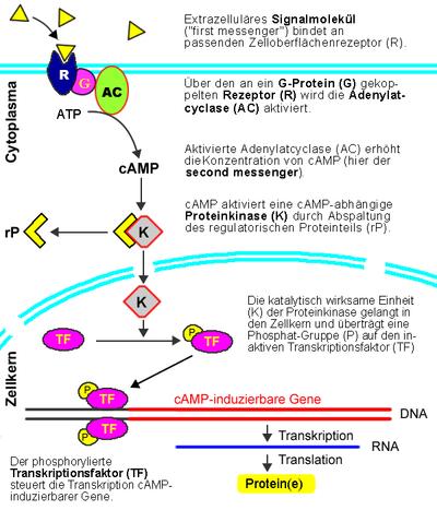 Signaltransduktion – Wikipedia