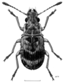 COLE Anthribidae Etnalis spinicollis f.png