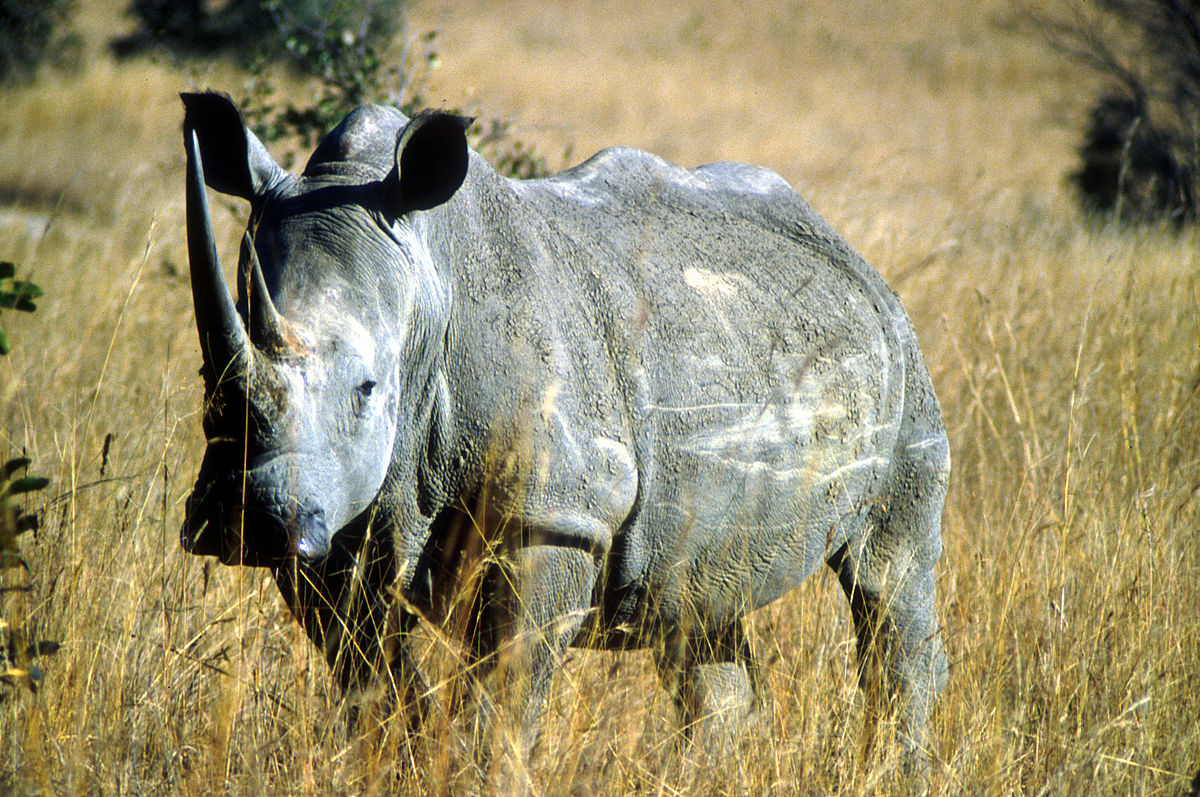 CSIRO ScienceImage 2088 Rhinoceros Zimbabwe.jpg