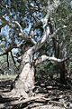 CSIRO ScienceImage 2321 An Aboriginal marker tree at Chowilla Floodplain.jpg