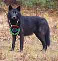 Cabal Wolf.jpg