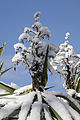 Cactus Blossom Covered with Snow (16219309136).jpg