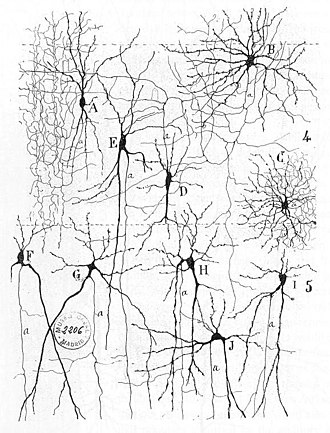 "Neural circuit - From ""Texture of the Nervous System of Man and the Vertebrates"" by Santiago Ramón y Cajal. The figure illustrates the diversity of neuronal morphologies in the auditory cortex."