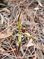 Caladenia gladiolata.jpg