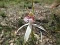 Caladenia longicauda redacta 03.jpg
