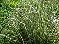 Calamagrostis acutiflora 'Overdam' 01.JPG