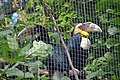 Calao festonné (Zoo Amiens).JPG
