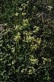 Calea cymosa- Soriano, Palmar, Suelo rocoso al margen del Lago 11.jpg