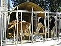 Calfs-igloo-husbandry3.jpg
