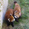 Calgary Zoo Red Panda 1.jpg