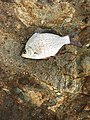 Calico surfperch.jpg