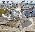 California Gull From The Crossley ID Guide Eastern Birds.jpg