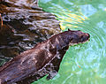 California River Otter (3337542940).jpg