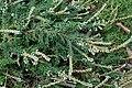 Calluna vulgaris 'White Lawn' kz1.jpg