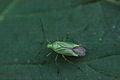Calocoris sp. ? (Miridae) (8977872156).jpg