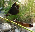 Calopteryx haemorrhoidalis. Copper Demoiselle. - Flickr - gailhampshire.jpg
