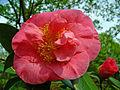 Camellia japonica 001.JPG